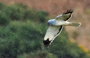 Hen Harrier JW