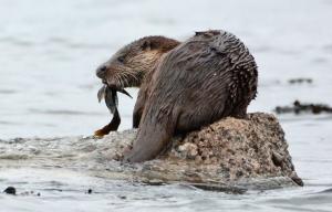 Otter JW