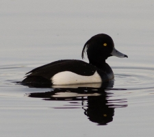 Tufted Duck, Kirk Dam