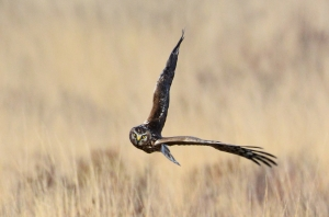 Hen Harrier 2 JW