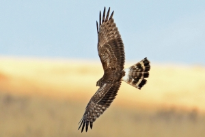 Hen Harrier 4 JW