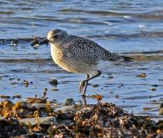 Grey Plover - St Ninian's Bay