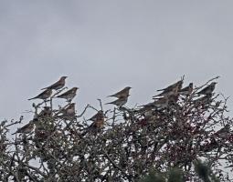 Redwing and Fieldfare