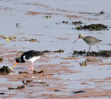 Oystercatcher and Godwit