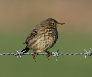 Rock Pipit, Ian Hopkins