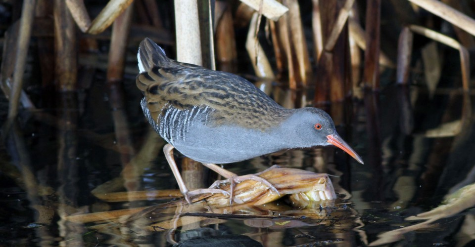 Water Rail, Kirk Dam