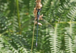Emerald Damselfly, Mount Stuart Reservoir, Bute 19th July 2013 © Ron Forrester