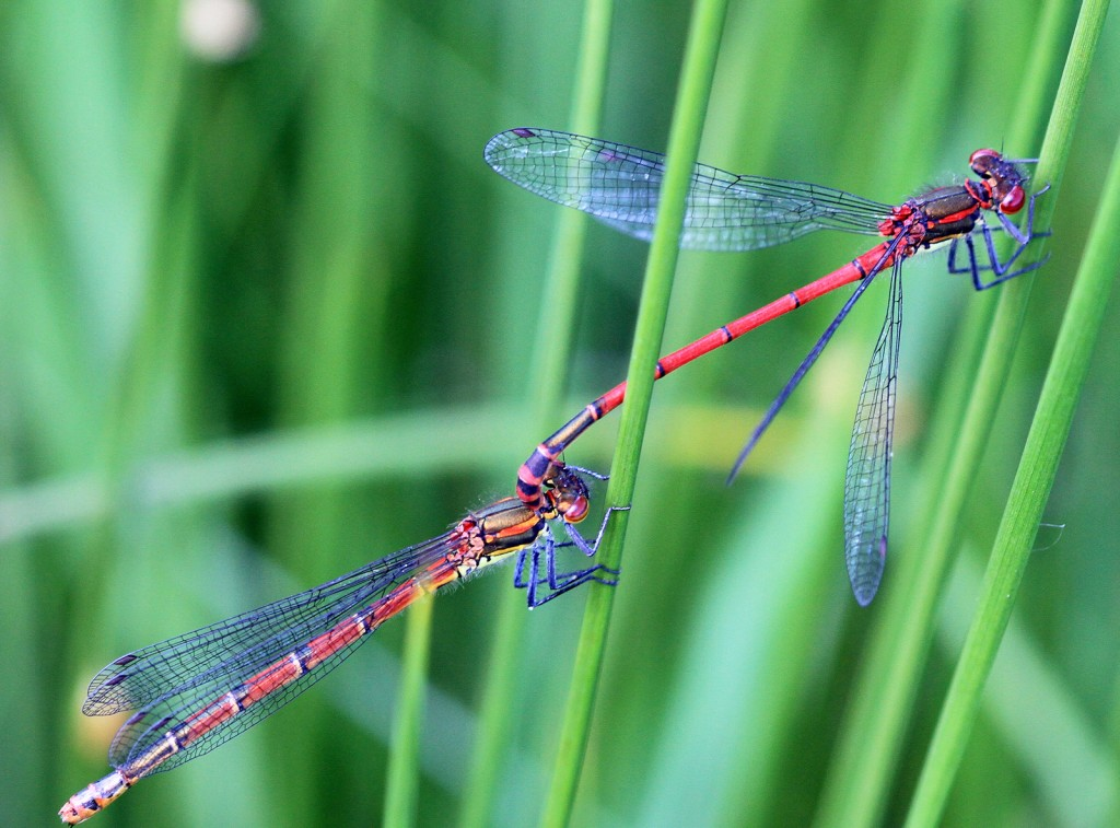 Large Red Damselflies, 'in tandem', Loch Quien 3rd June 2014 © Doug Menzies
