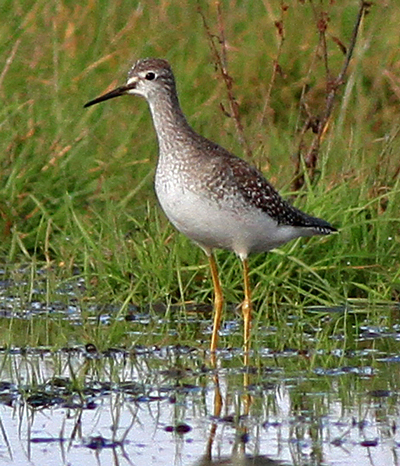 Lesser Yellowlegs, Little Kilmory on 2nd October 2012. Lesser Yellowlegs was one of two species added to the Bute List in 2012. © Doug Menzies