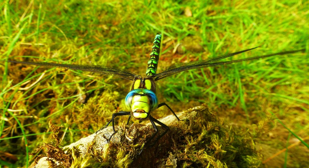 Southern Hawker, St Blanes, 3rd August 2013 © Mark Anderson
