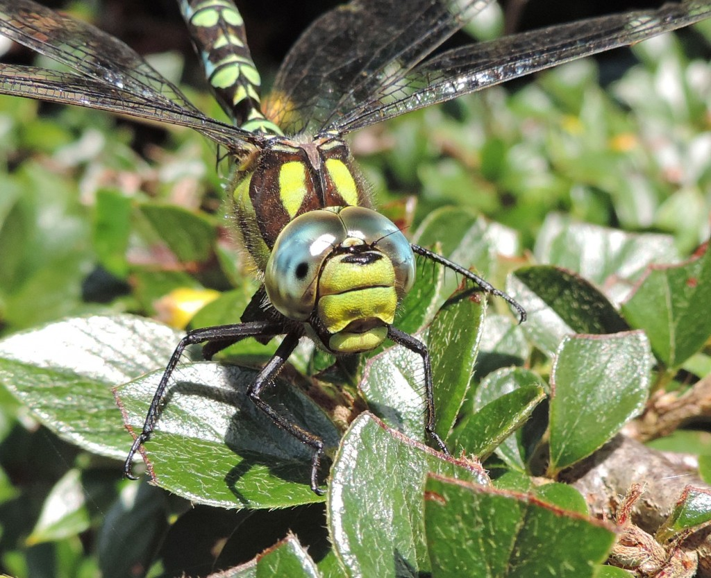Southern Hawker, male, East Bank, Eastlands Road, Rothesay 29.9.15 © Ron Forrester