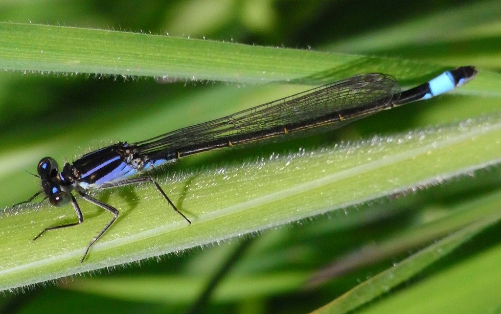 Blue-tailed Damselfly, Mount Stuart 11th June 2009 © Norrie Mulholland