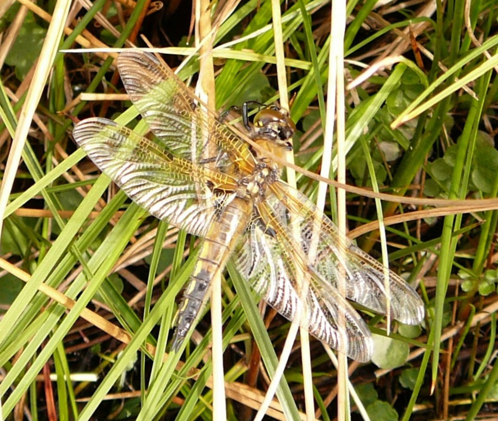 Four-spotted Chaser, near Dhu Loch, 16th May 2008 © Norrie Mulholland