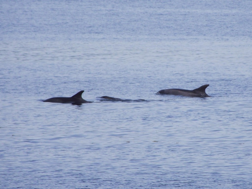 Bottle-nosed Dolphins, Rothesay Bay 3.6.10 © Ron Forrester