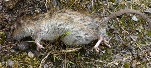 Common Rat, dead, Tramway Walk, Cnoc an Rath, Bute 3rd August 2013 © Norrie Mulholland
