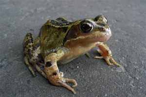 Common Frog, Loch Fad 10.8.2007 © Norrie Mulholland