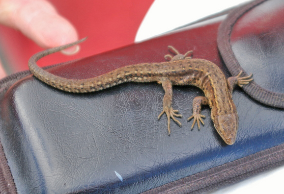 Common Lizard, outside Rothesay Leisure Centre 3.9.2007 © Billy Shields