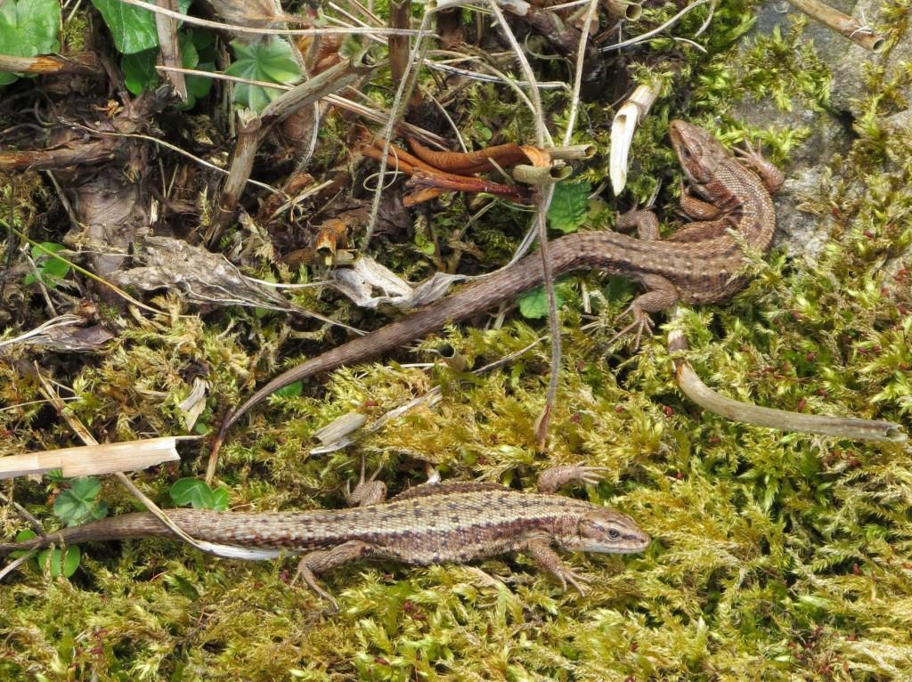 Common Lizards, Langalbuinoch Cottage 28.3.18 (Irene Scott)