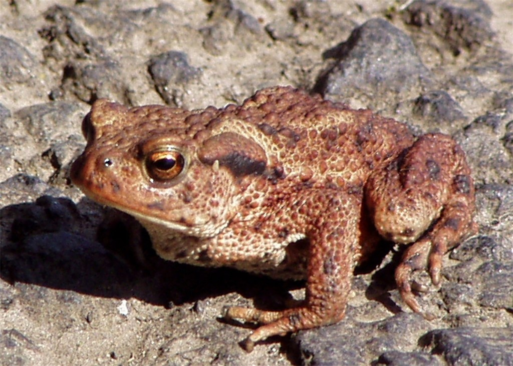 Common Toad, Ettrick Bay 24.7.2005 © Norrie Mulholland