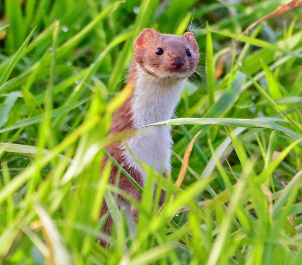 Weasel, Kildavannan 28.10.16 © John Williams