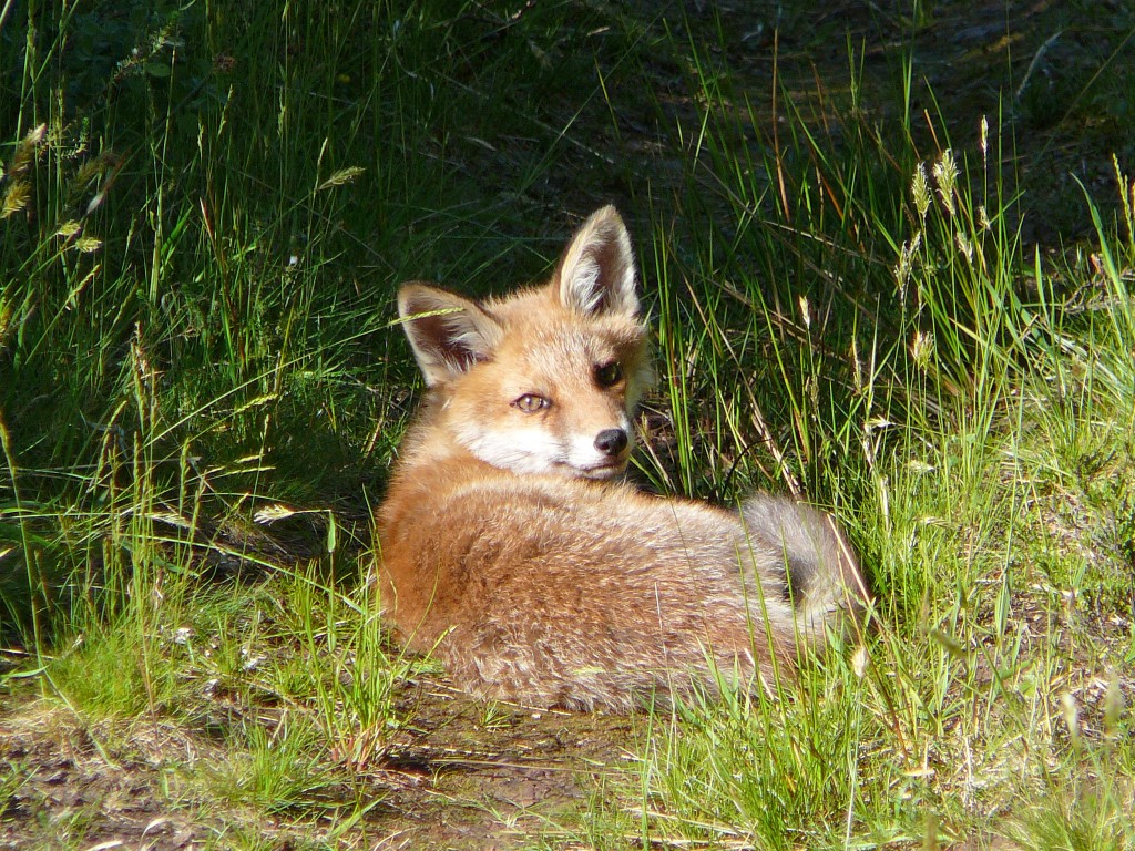 Fox, Rhubodach Forest, Bute 11th June 2006 © Graham Clark