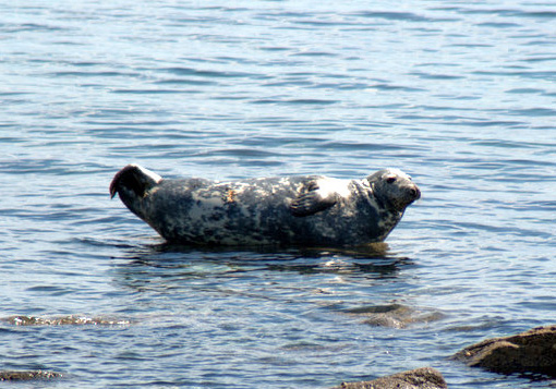 Grey Seal, Scalpsie Bay 18.5.08 © Billy Shields