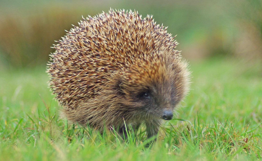 Hedgehog, out for a walk, Stable Cottage, Mount Stuart 29.4.10 © Billy Shields