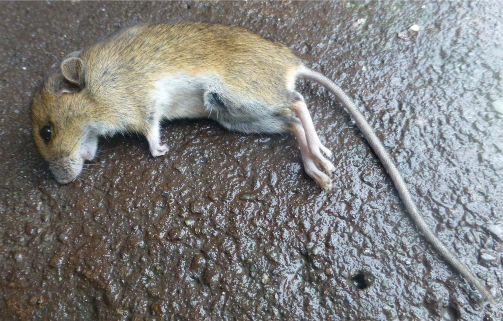 House Mouse, dead, Ballochgoy, Rothesay 18th December 2013 © Norrie Mulholland