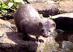 Mink, Loch Fad, Bute 31st July 2005 © Norrie Mulholland
