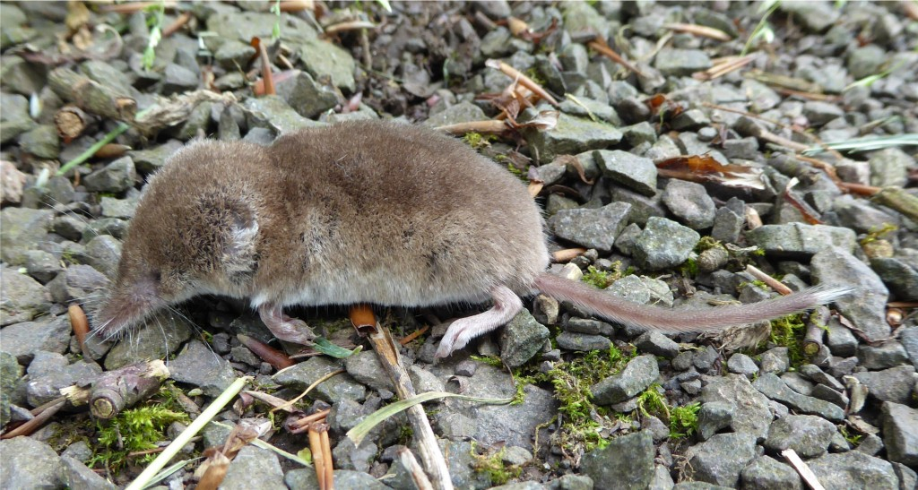 Pygmy Shrew, St Colmac 11.7.14 © Norrie Mulholland