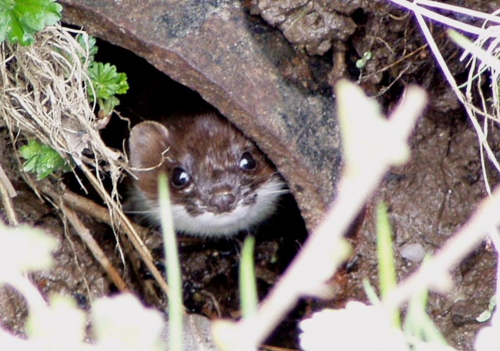 Stoat, Ascog 13.4.05 © Norrie Mulholland