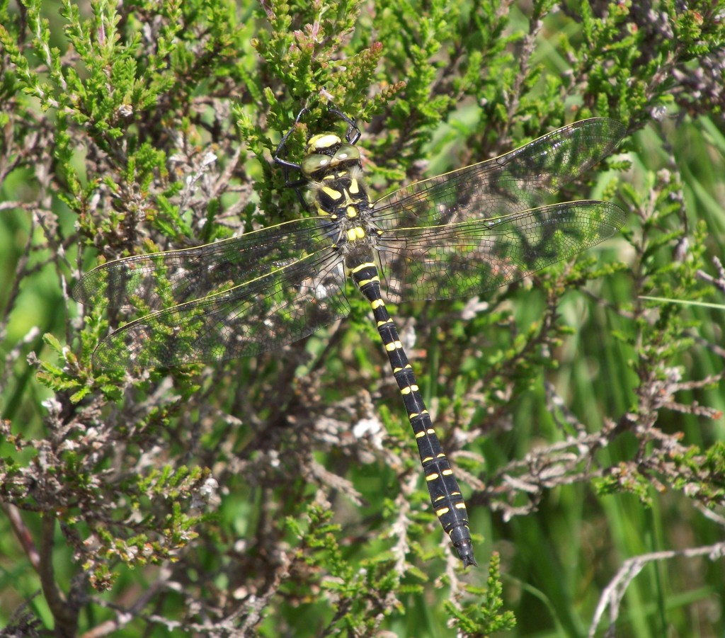Golden-ringed Dragonfly, near Bull Loch 6th July 2013 © Ron Forrester