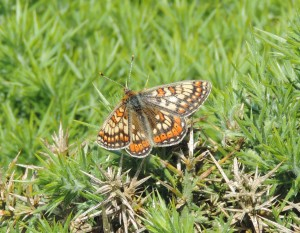Marsh Fritillary, nr Carrick Point, Bute 6.6.14 © Ron Forrester