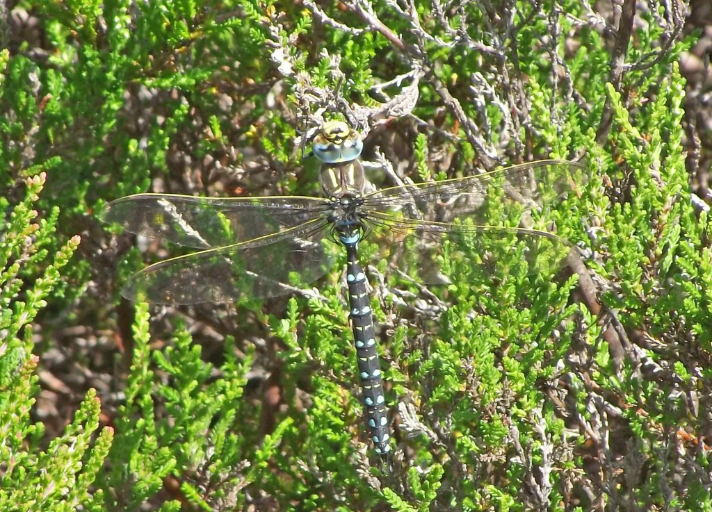 Common Hawker, male, Rhubodach Forest, Bute 27th July 2013 © Ron Forrester